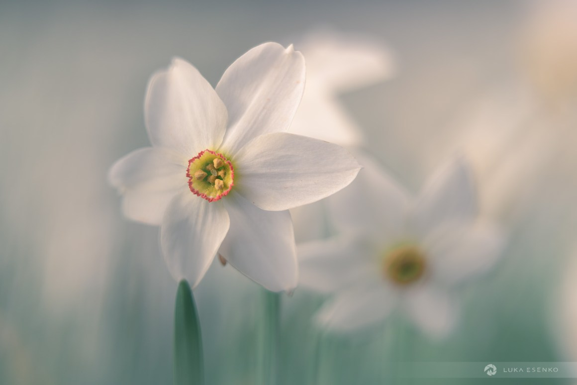 Daffodils - Nikon 85mm 1.8 S lens
