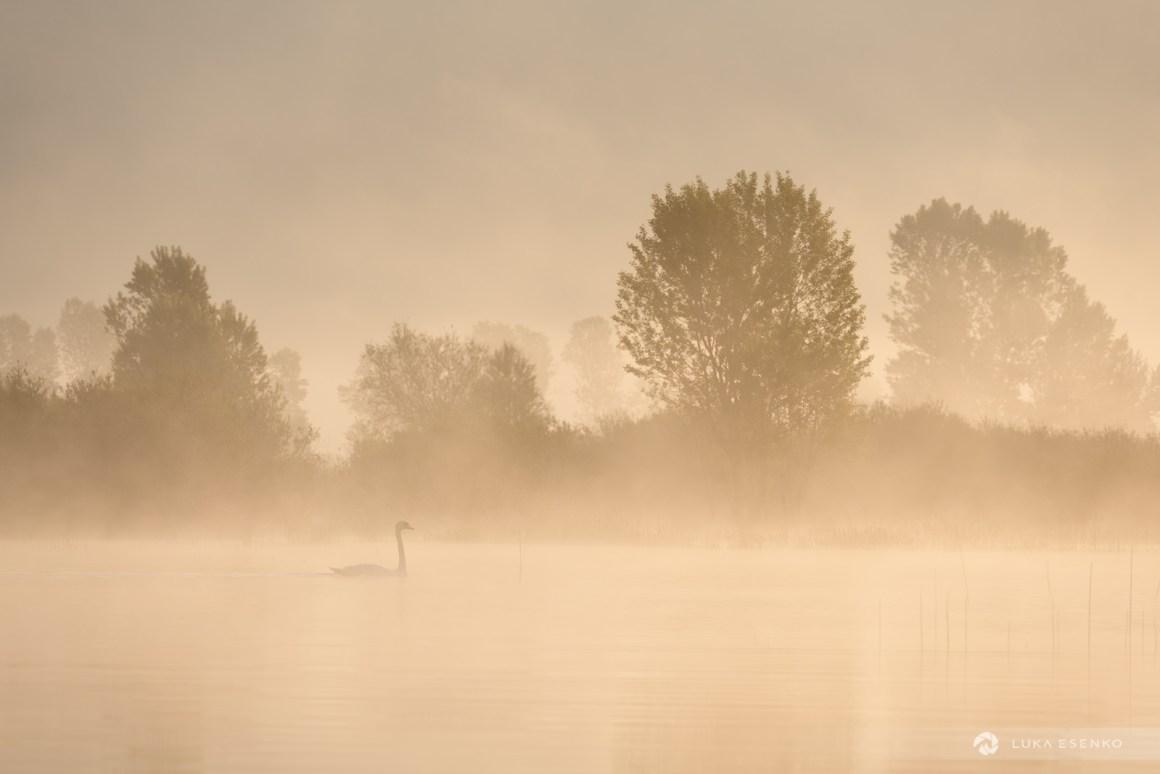 Mute swan on the lake