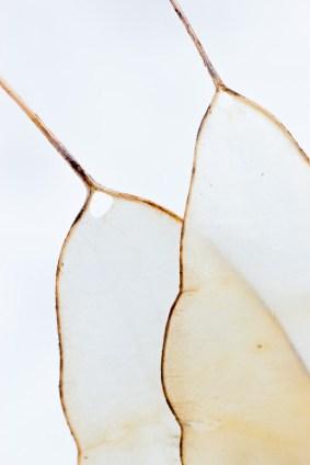 Silberblatt (Lunaria rediviva)