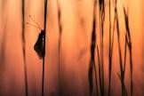 Schmetterlingshaft (Libelloides coccaius)