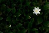 Siebenstern, vielleicht die häufigste Blume Lapplands