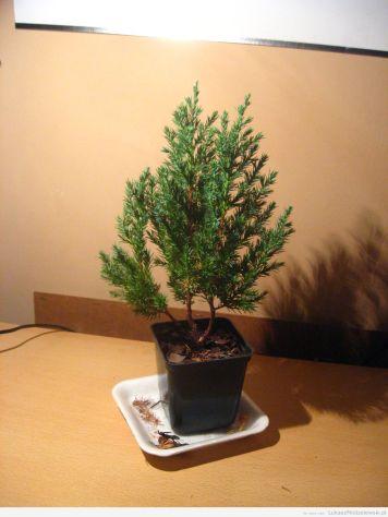Bonsai z drzewka za makulaturę