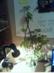 Zaniedbana Pelargonia rabatowa