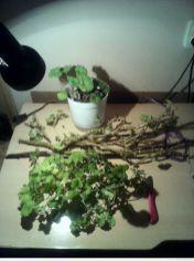 Pelargonia rabatowa - chaos