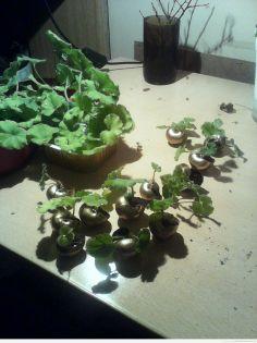 Małe sadzonki Pelargonii w muszelkach
