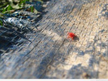 czerwony pajęczak ^^ / wygląda jak kleszcz