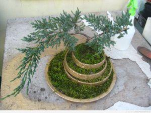 prawie gotowe drzewko ... tylko przesadzone i przycięte ale już jakoś wygląda :D