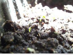 Zbliżenie na wschodzące nasiona