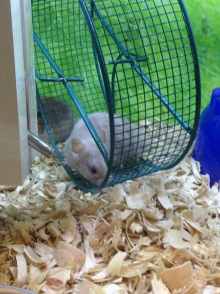 hamster in wheel
