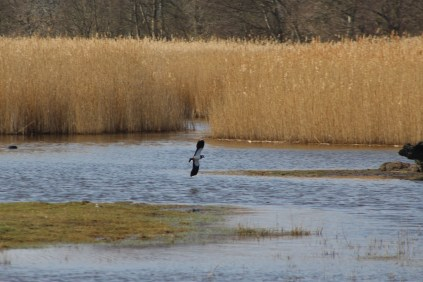 Lapwing Flying (E)