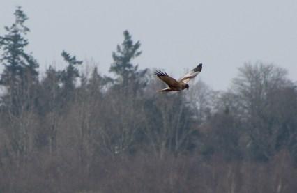 Marsh Harrier(E)