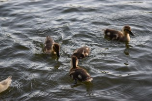 Ducklings @Needham