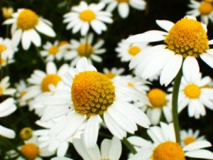 Chamomile from lukeosaurusandme.co.uk