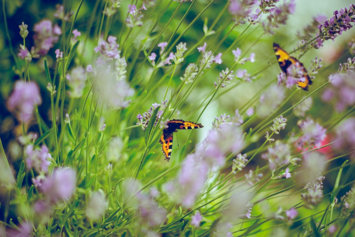close up of butterflies flying around lavender bushes