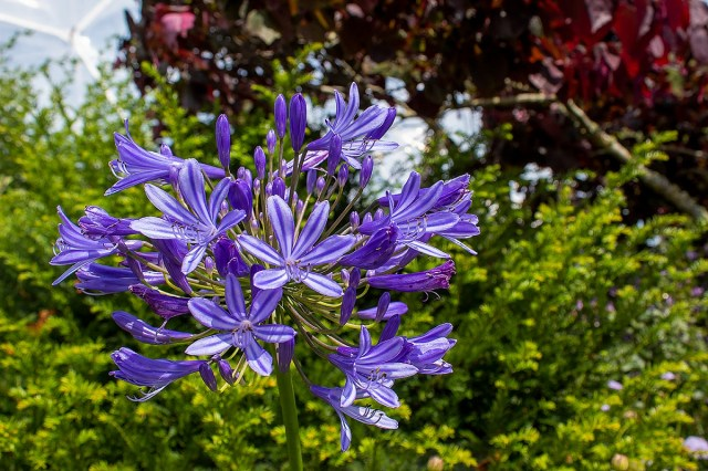 A close up of purple/blue flowers in the Eden Project's outdoor gardens