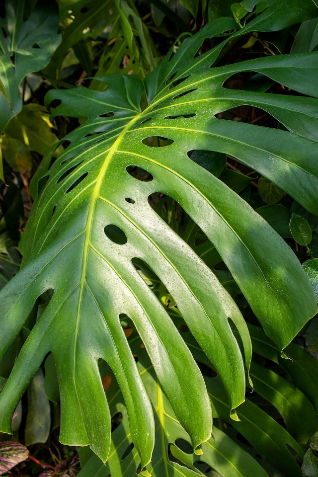 A giant green tropical leaf from a tropical species of plant found in the rainforest biome at The Eden Project