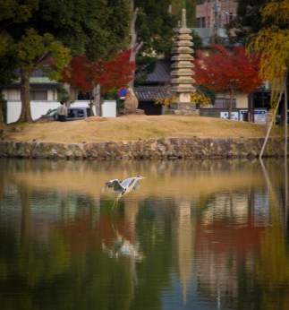 Heron and reflection, Nara