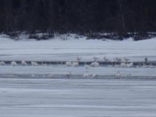 Mit Zoom sieht es schon erfreulich schwaniger aus. Ca. 40 Schwaene stehen auf dem Eis oder schwimmen im bisschen eisigen Wasser umher.