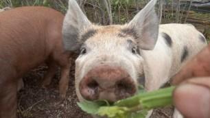 Mit dem Russel direkt in der Kamera sieht es fast so aus, als wuerde das Schwein schielen.