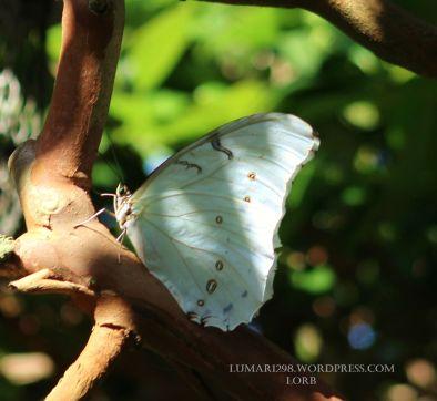 White Morpho1