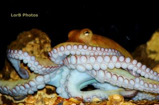 Common Octopus Full Figure