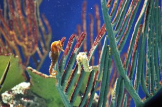 Sea Horse (2)