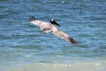 b-pelican-1