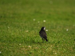 Beautiful Wagtail sitting outside our house in Cornwall