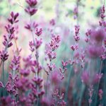104972__flowers-lavender-purple-field-motion-blur-nature_p