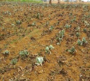 damage cabbage by el nino