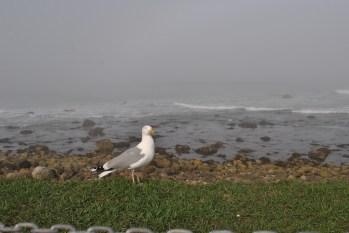 Narragansett foggy shore seagull