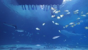 Journey with Gentle Giants Atlanta Aquarium Shark Dive