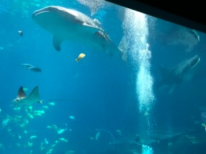 Whale Shark at the Atlanta Aquarium