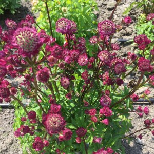 Astrantia major 'Star of Beauty' (Stjerneskærm)
