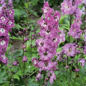 Delphinium hybrids Magic Fountains 'Lilac Pink' (Ridderspore)