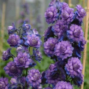 Delphinium hybrids Highlander 'Sweet Sensation' (Ridderspore)