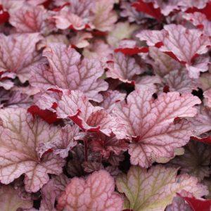 Heuchera x hybrida 'Berry Smoothie' (Alunrod)