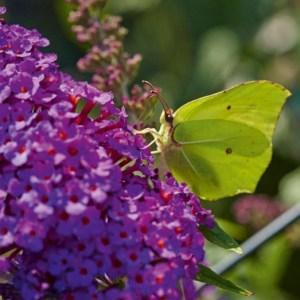 Buddeleja 'Purple' Sommerfuglebusk