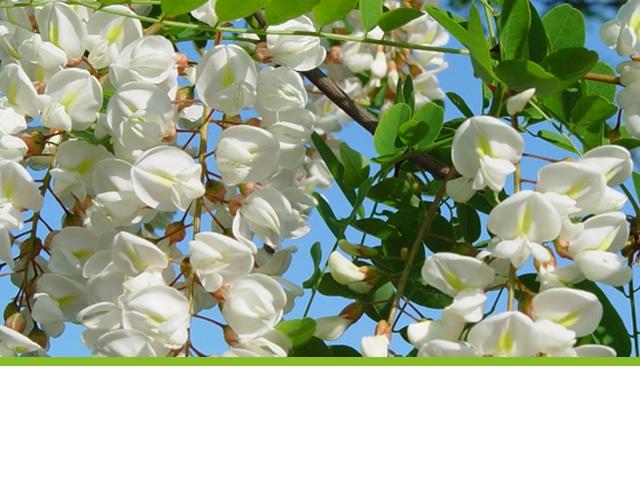 fleur acacia bio