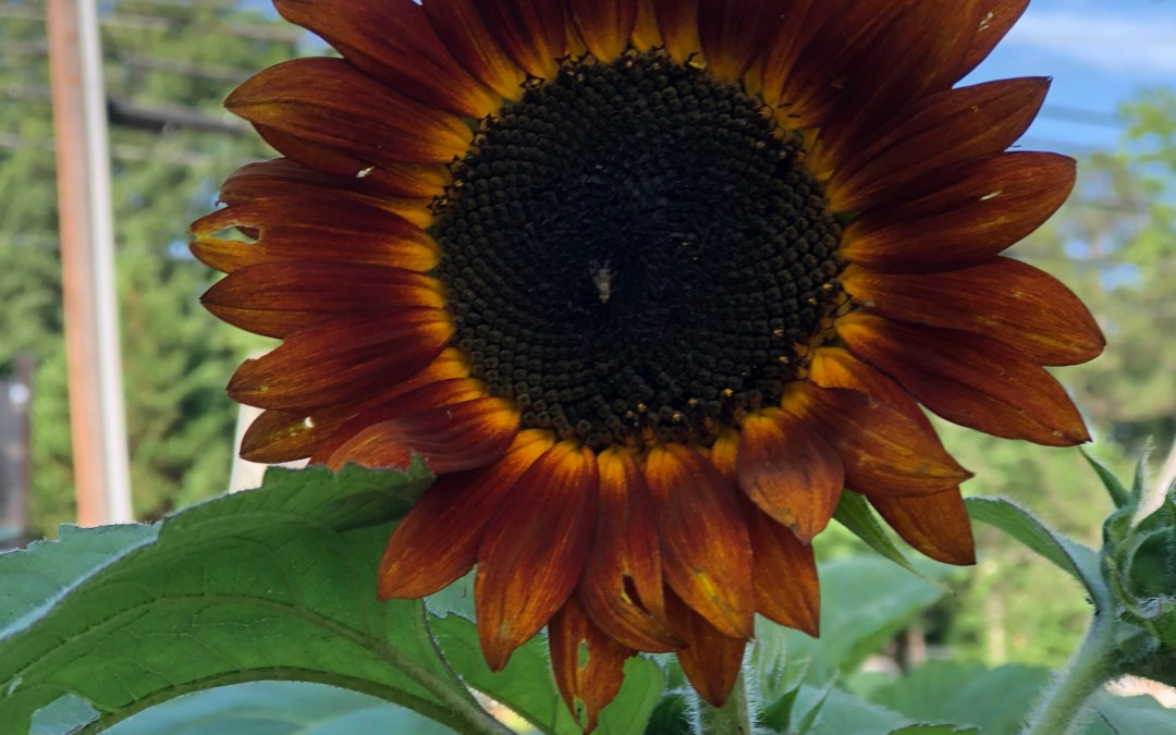 Sunflowers of Summer