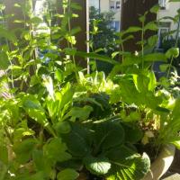 #Thé vert à la #menthe