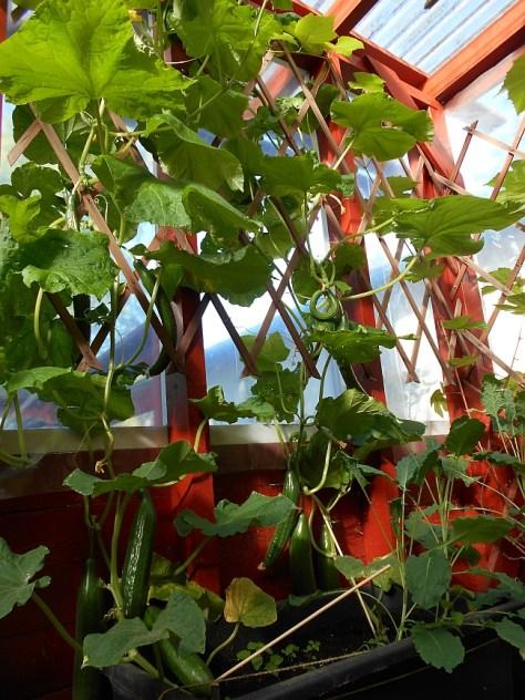 Satoa kasvihuoneesta