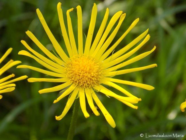 kukkakeltainen04