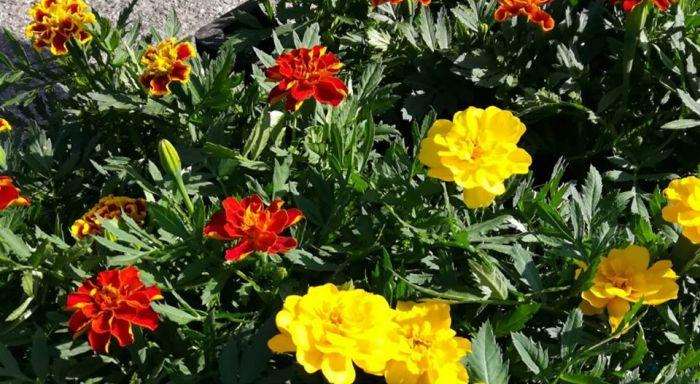 Kumppanuuskasvit torjuvat tuhoja kasvimaalla