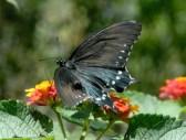 butterfly15