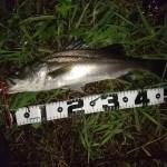 熊本シーバスルアー釣果速報!江津湖(淡水)でシーバス釣りました