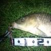 ベイトフィネスで鯉釣り!ダイワのバスロッド×リール×ルアーで鯉65cm