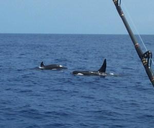IMG15:Orca 2