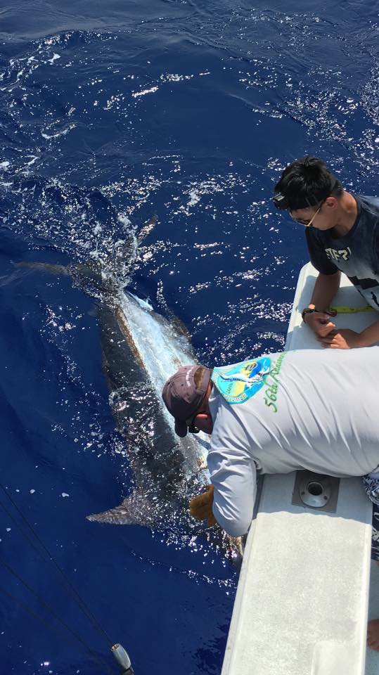 Blue marlin tags, Biggest 2016 sail and uku