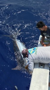 Anxious tags 500 pound blue marlin